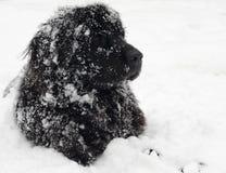 Cão de Terra Nova imagem de stock