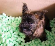 Cão de Terrier de monte de pedras Fotografia de Stock