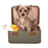 Cão de Terrier na mala de viagem Fotos de Stock Royalty Free