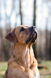 Cão de Tosa Inu Fotos de Stock
