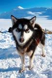 Cão de trenó Imagens de Stock