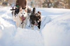 Cão de trenó Foto de Stock Royalty Free