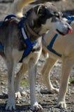 Cão de trenó do Alasca aproveitado Imagens de Stock