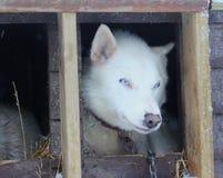 Cão de trenó ronco do Alasca Imagens de Stock