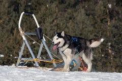 Cão de trenó ronco Siberian que relaxa após o funcionamento duro entre a floresta do inverno fotos de stock royalty free