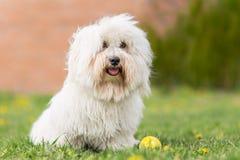 Cão de Tulear do algodão fotos de stock