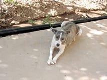 Cão 2007 de Usbequistão Mayskiy Fotografia de Stock Royalty Free