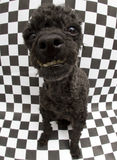 Cão de vista engraçado no fundo quadriculado Imagens de Stock Royalty Free