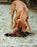 Cão de Vizsla Fotos de Stock Royalty Free