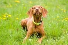 Cão de Vizsla Imagem de Stock Royalty Free