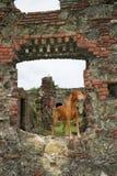 Cão de Vizsla em ruínas medievais em Panamá fotografia de stock royalty free