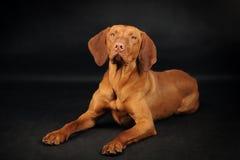 Cão de Vizsla que encontra-se no fundo preto Fotografia de Stock Royalty Free
