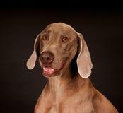 Cão de Weimaraner Fotos de Stock