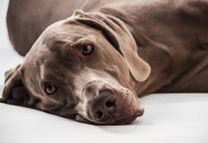 Cão de Weimaraner Fotografia de Stock Royalty Free
