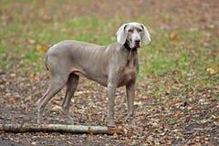 Cão de Weimaraner Foto de Stock