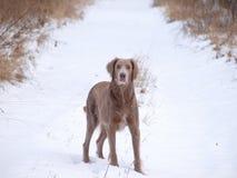 Cão de Weimaraner na caminhada do inverno Fotos de Stock Royalty Free