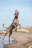 Cão de Weimaraner na praia Fotografia de Stock