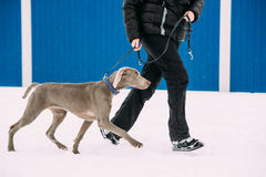 Cão de Weimaraner que anda perto do ser humano na neve no dia de inverno Grande cão Breds para caçar Fotografia de Stock