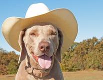Cão de Weimaraner que desgasta um chapéu de cowboy Imagens de Stock Royalty Free