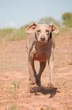 Cão de Weimaraner que funciona abaixo do monte Imagens de Stock Royalty Free
