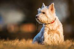 Cão de Westie Fotos de Stock