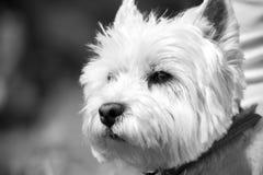Cão de Westie imagens de stock