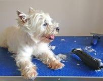 Cão de Westie que está sendo preparado com tosquiadeiras Fotos de Stock Royalty Free