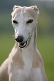 Cão de Whippet imagens de stock