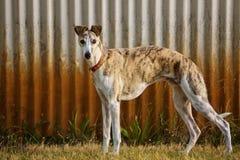 Cão de Whippet Fotos de Stock