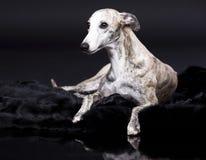 Cão de Whippet Fotografia de Stock Royalty Free