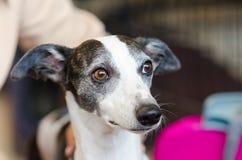 Cão de Whippet fotografia de stock