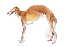 Cão de Whippet Aquarela do desenho Imagens de Stock Royalty Free