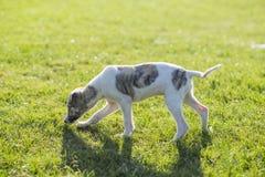 Cão de Whitby Foto de Stock