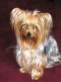 Cão de Yorkie Fotos de Stock
