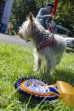 Cão de Yorkie com roseta Imagem de Stock
