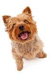 Cão de Yorkie que olha acima imagens de stock