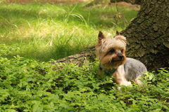 Cão de Yorkshire Foto de Stock Royalty Free
