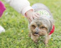 Cão de Yorkshire em um prado com as flores acariciadas por uma menina imagens de stock royalty free