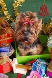 Cão de Yorkshire na caixa de presente do Natal Fotografia de Stock Royalty Free