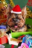 Cão de Yorkshire na caixa de presente do Natal Fotos de Stock Royalty Free