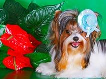 Cão decorativo em um chapéu em um fundo verde imagem de stock royalty free