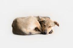 Cão deficiente Fotografia de Stock Royalty Free