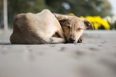 Cão deficiente Fotos de Stock
