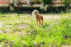 Cão deficiente Imagens de Stock