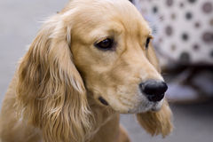 Cão deficiente perdido Fotografia de Stock Royalty Free