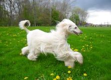 Cão deleitado de sorriso da vista que brinca no campo gramíneo do dente-de-leão foto de stock