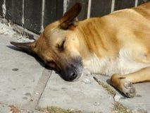 Cão desabrigado Fotografia de Stock Royalty Free