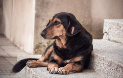 Cão desabrigado da rua Fotos de Stock Royalty Free