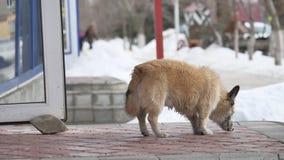 Cão desabrigado disperso que senta-se na frente da entrada da mercearia que espera fora pelo alimento vídeos de arquivo