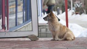 Cão desabrigado disperso que senta-se na frente do alimento de espera da entrada da mercearia fora vídeos de arquivo
